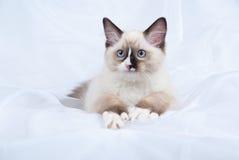 котенок с лапок указывает уплотнение ragdoll показывая белизну стоковые изображения rf