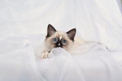 котенок с ragdoll смотреть прищурясь лапок показывая белизну стоковая фотография rf