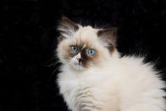 котенок черноты близкий вверх по бархату стоковое фото rf