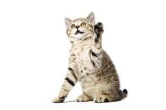 Котенок шотландский прямо при лапка поднятая вверх Стоковое Изображение