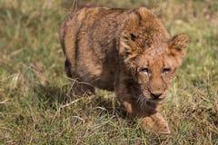 Котенок льва на приключениях стоковые фото