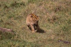 Котенок льва на приключениях стоковое изображение rf