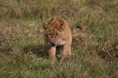 Котенок льва на приключениях стоковые изображения rf