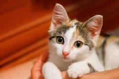 котенок 3-цвета на руках нового владельца стоковая фотография
