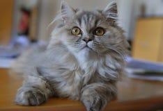 котенок angora Стоковая Фотография