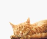 котенок backgound немногая красная белизна спать Стоковые Фотографии RF