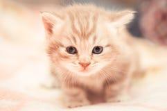 Котенок cat's конца-вверх великобританский Стоковые Фото