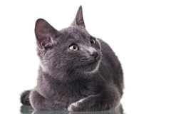 Котенок Chatreaux Стоковая Фотография RF