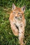 Котенок Lynx Стоковое Изображение