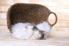 Котенок Maincoon с большими глазами Стоковые Изображения