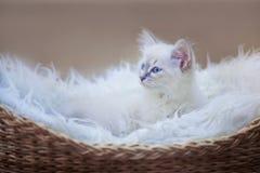Котенок masquerade neva Стоковое Фото