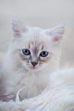 Котенок masquerade neva Стоковые Изображения