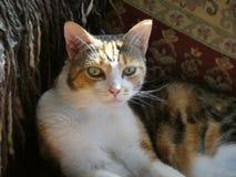 Котенок pussy callico ситца tortoiseshell календаря портрета кота стоковые фотографии rf
