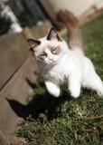 Котенок Ragdoll играя в саде Стоковые Изображения RF