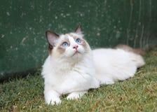 Котенок Ragdoll наблюдая небо Стоковая Фотография