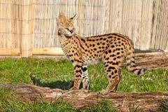 Котенок Serval стоя на солнечности logon Стоковые Изображения