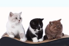 Котенок shorthair 3 британцев сидя на коте царапая столб Стоковое Фото