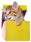 Котенок Shorthair brindled спрятанный в красивом изоляте подарочной коробки Стоковые Фото