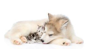 Котенок Tabby лежа с щенком маламута Изолировано на белизне стоковая фотография