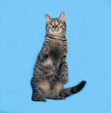 Котенок Tabby стоя на сини стоковое изображение rf