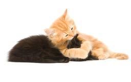 котенок wrestling Стоковая Фотография RF
