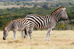 Которая сторона - зебра Burchell Стоковое Фото