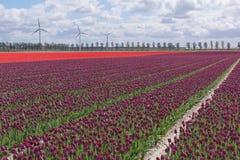 , который заволокли небо над тюльпанами Стоковая Фотография