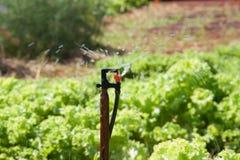 , который хранят канола цветка (Bok Choy или китайской капусты) Стоковые Фото