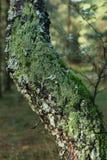 , котор мх-росли дерево березы Стоковые Фотографии RF
