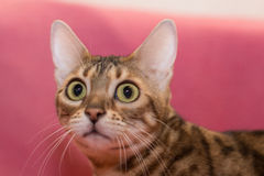 коты Бенгалии Стоковая Фотография