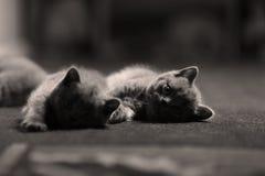 Коты британцев Shorthair, изолированный портрет Стоковая Фотография