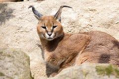 Коты Каракал пустыни портрета, Каракал caracal Стоковая Фотография