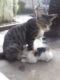коты кормя грудью Стоковые Фото