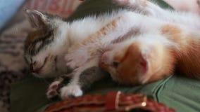 Коты младенца кладя дальше подпирают в подоле женщины Милые маленькие котята в серых красных и белых цветах видеоматериал