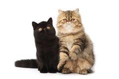 коты перские Стоковая Фотография RF