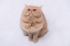 коты перские Стоковые Фото
