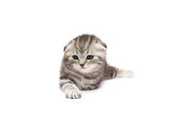 коты складывают scottish Стоковые Изображения
