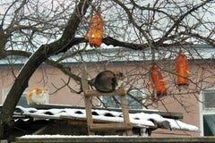 Коты скрываясь и ждать птиц для того чтобы прийти к фидерам бутылки Стоковые Изображения RF