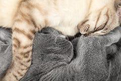 Коты спать Стоковая Фотография
