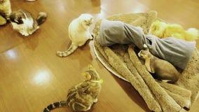 Коты улавливая лазерный луч сток-видео