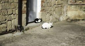 Коты улицы табуна Стоковая Фотография