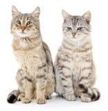 коты 2 Стоковое Изображение