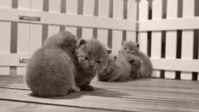 Котята британцев Shorthair двигая и играя в малом дворе, белой загородке крытой видеоматериал