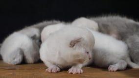 Котята британцев Shorthair, изолированный портрет, деревянная предпосылка акции видеоматериалы
