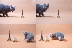 Котята британцев Shorthair и путешествие Eiffel, Париж, multicam Стоковое Фото