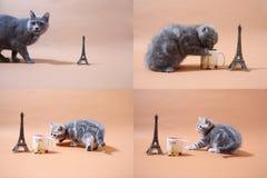 Котята британцев Shorthair и путешествие Eiffel, Париж, multicam Стоковые Фото