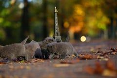 Котята британцев Shorthair и путешествие Eiffel Стоковые Изображения