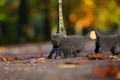 Котята британцев Shorthair и путешествие Eiffel Стоковая Фотография RF