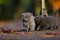 Котята британцев Shorthair и путешествие Eiffel Стоковое фото RF