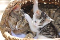 Котята в корзине Стоковые Изображения RF